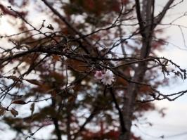 October Sakura